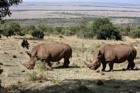 Photo for White Rhinoceros in the  Masai Marra reserve in Kenya Africa - Royalty Free Image