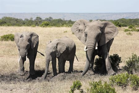 Photo pour Elephants playing with mud to protect them from heat and sun  - image libre de droit