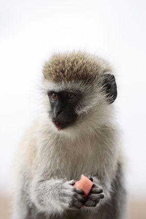 Photo pour Vervet Monkey Chlorocebus steeling food in the masai mara reserve in kenya africa - image libre de droit