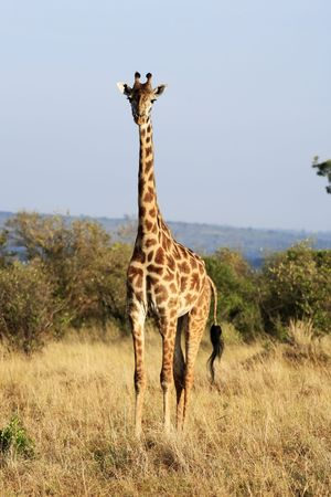 Foto de Masai or Kilimanjaro Giraffe Giraffidae grazing in the beautiful plains of the masai mara reserve in kenya africa - Imagen libre de derechos