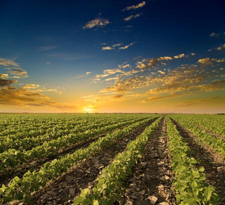 Photo pour Soybean field ripening at spring season, agricultural landscape. Sunset - image libre de droit