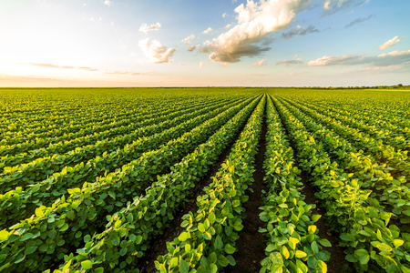Photo for Green ripening soybean field, agricultural landscape - Royalty Free Image