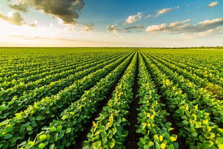 Photo pour Green ripening soybean plants. Agricultural landscape - image libre de droit