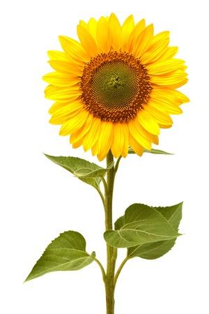Foto de Sunflower isolated on white background - Imagen libre de derechos