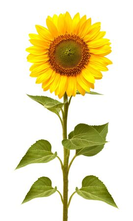 Photo for Flower of sunflower isolated on white background. Seeds and oil. Flat lay, top view - Royalty Free Image
