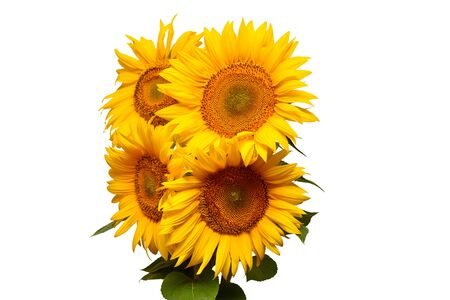 Photo for Sunflowers bouquet with leaves isolated on white background. Sun symbol. Flowers yellow, agriculture. Seeds and oil. Flat lay, top view. Bio. Eco. Creative - Royalty Free Image