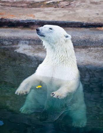 The Polar bear sitting in blue water