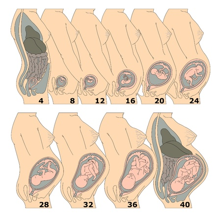 Illustration pour The growth of a human fetus in weeks - image libre de droit