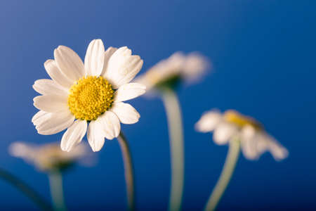 Photo pour Fresh chamomiles on blue background. Floral background. - image libre de droit