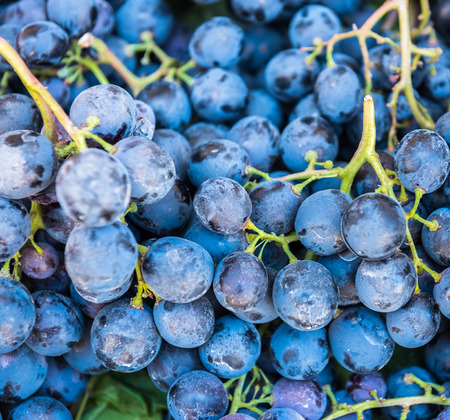 Close view of Dark blue ripe Grapes Recently Harvested for sale.Background of freshly picked grapes