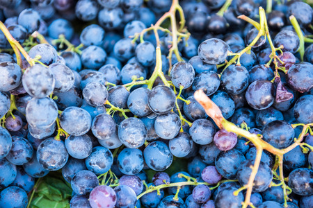 Dark blue ripe Grapes Recently Harvested for sale.Background of freshly picked grapes