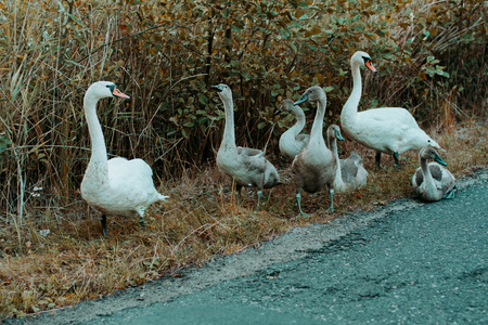 Photo for Family of goose on the road - Royalty Free Image