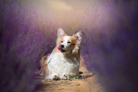Welsh Corgi Pembroke dog beautifully posing on a lavender field