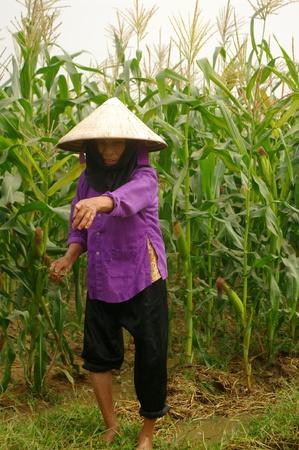 grand-mÚre de Kinh (Viêt) dans ses champs de maïs.