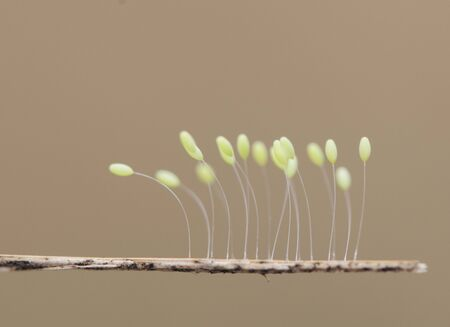 Photo pour Crisopa eggs Green lacewings eggs these insects lay their eggs in places near streams on the vegetation on a light brown background - image libre de droit