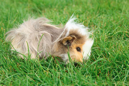 Guinea pig on grassの写真素材