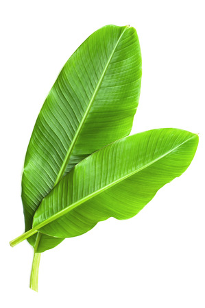 Photo for Banana leaves isolated over white - Royalty Free Image