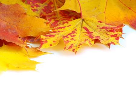 Photo pour autumn maple leafs isolated on a white  - image libre de droit