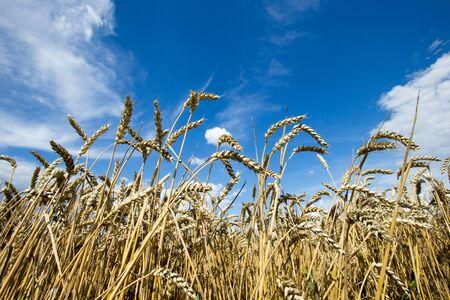 Photo pour golden wheat field and sunny day - image libre de droit