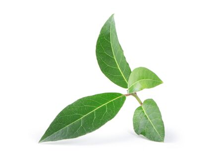 Photo pour Bay leaves isolated on white background - image libre de droit