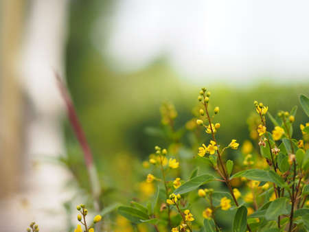 Photo pour Small yellow flower blooming in garden blurred of nature background - image libre de droit