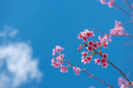 Photo pour Beautiful sakura or cherry blossom in spring on blue sky , nature background - image libre de droit