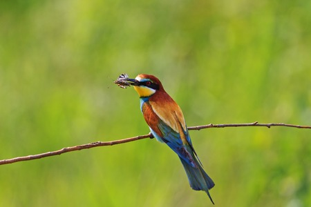 rainbow colored bird with insect butterfly,tropical birds, beautiful birds, wilderness, beautiful