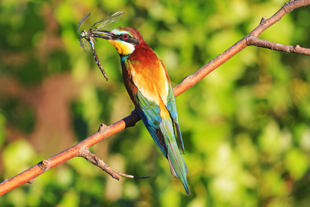 rainbow colored bird with insect dragonfly in its beak,tropical birds, beautiful birds, wilderness, beautiful