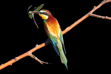 rainbow colored bird with insect dragonfly on black background,tropical birds, beautiful birds, wilderness, beautiful