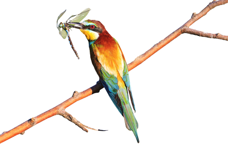 rainbow colored bird with insect dragonfly on white background,tropical birds, beautiful birds, wilderness, beautiful