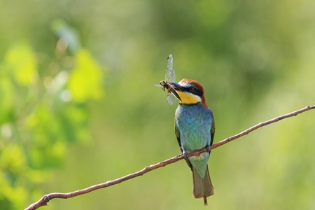 rainbow colored bird with insect dragonfly on nature background,tropical birds, beautiful birds, wilderness, beautiful