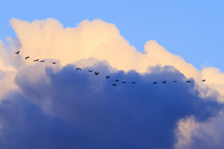 Key cranes flying among thunderstorm sky,migration, spring, rain, bad weather clouds