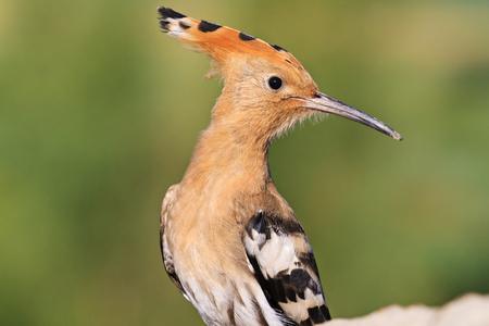 hoopoe turn right on the head,exclusive bird