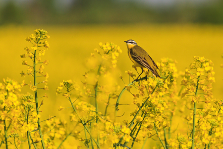 wild bird on yellow rapeseed field with yellow flowers