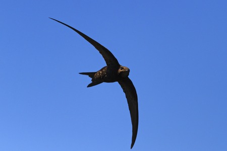 bird with wings in the form of a crescent,wildlife