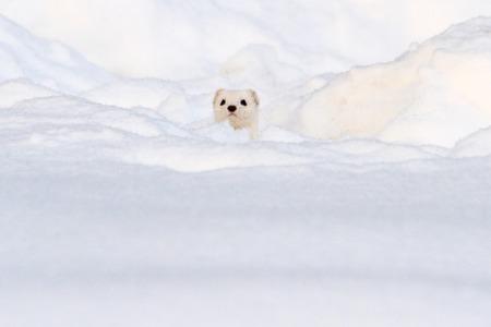 Foto de white animal looks out of white snow, winter, animals - Imagen libre de derechos