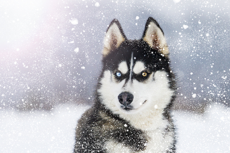 Foto de Husky with colorful eyes during snowfall on a sunny winter day - Imagen libre de derechos