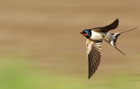 Photo pour barn swallow flies fast - image libre de droit