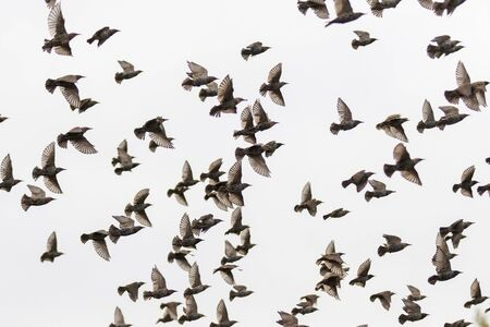 Photo pour starlings fly through the gray sky, wild nature - image libre de droit