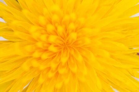 Photo pour middle of a yellow dandelion flower, wildlife - image libre de droit