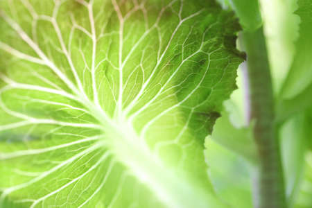 Photo for Green lust lettuce nerve close up - Royalty Free Image