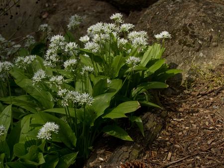 Wild garlic in spring garden - Allium ursinum