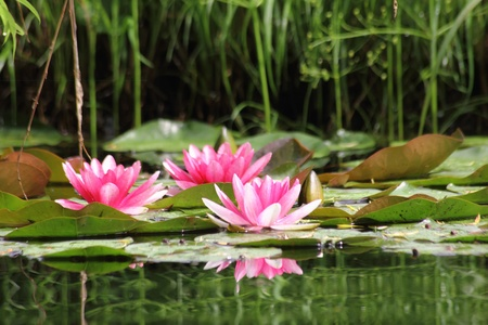 Red waterlily. Water flower.