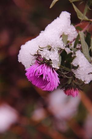Autumn aster  Flower