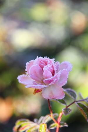 Rose  Flower  Hoarfrost