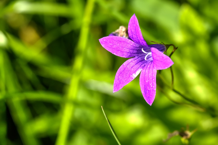 The blossoming bellflower on a summer field.