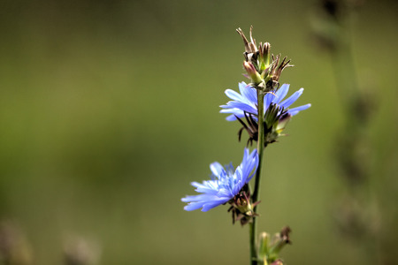 The blossoming chicory flower growing on a summer meadow.
