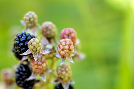 The ripening blackberry berries growing in a summer garden.