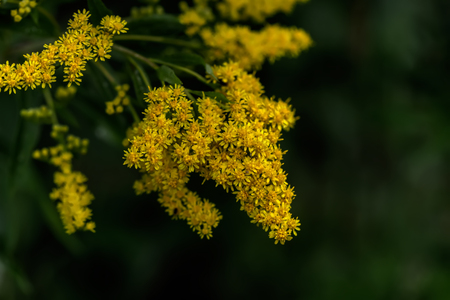 The blossoming golden rod.