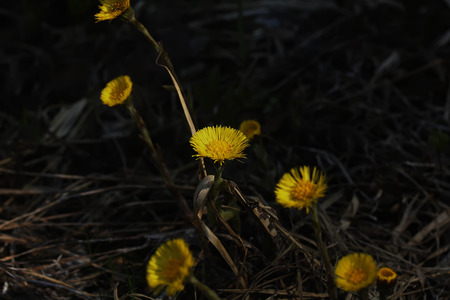 Coltsfoot flower growing on a spring meadow.